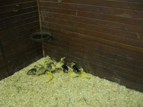 Cuter baby ducks