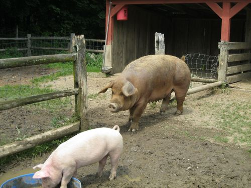 Claire still talks about the homely mama pig